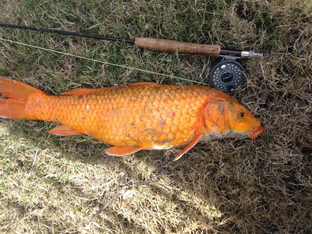 orange-carp